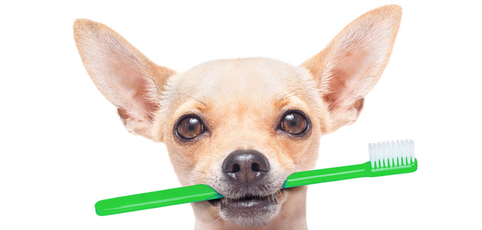 Chihuahua holding toothbrush in mouth